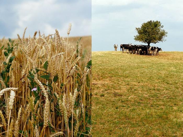 על ראש הגבעה הצרפתית עומדת פרה