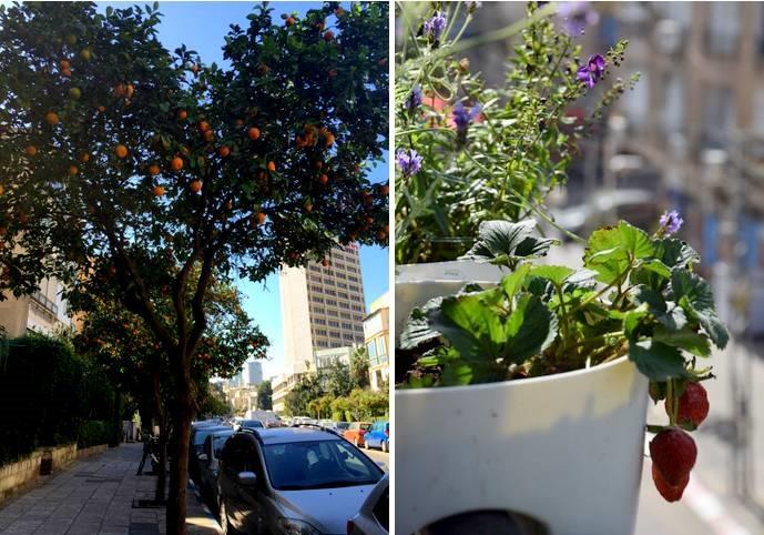 עצי תפוזים באמצע רחוב לסקוב