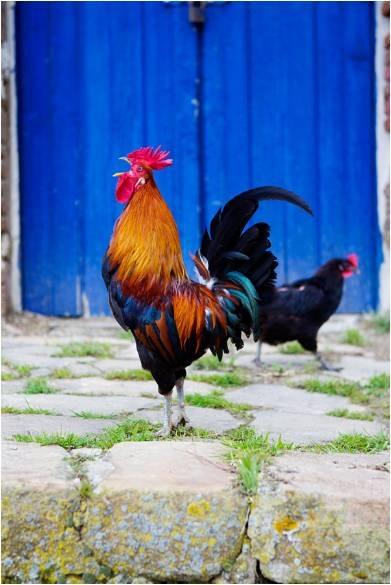 תרנגול חתיך קורא בקול