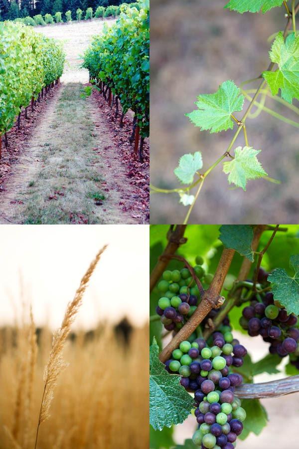 כרם ענבים למאכל או ענבים ליין?